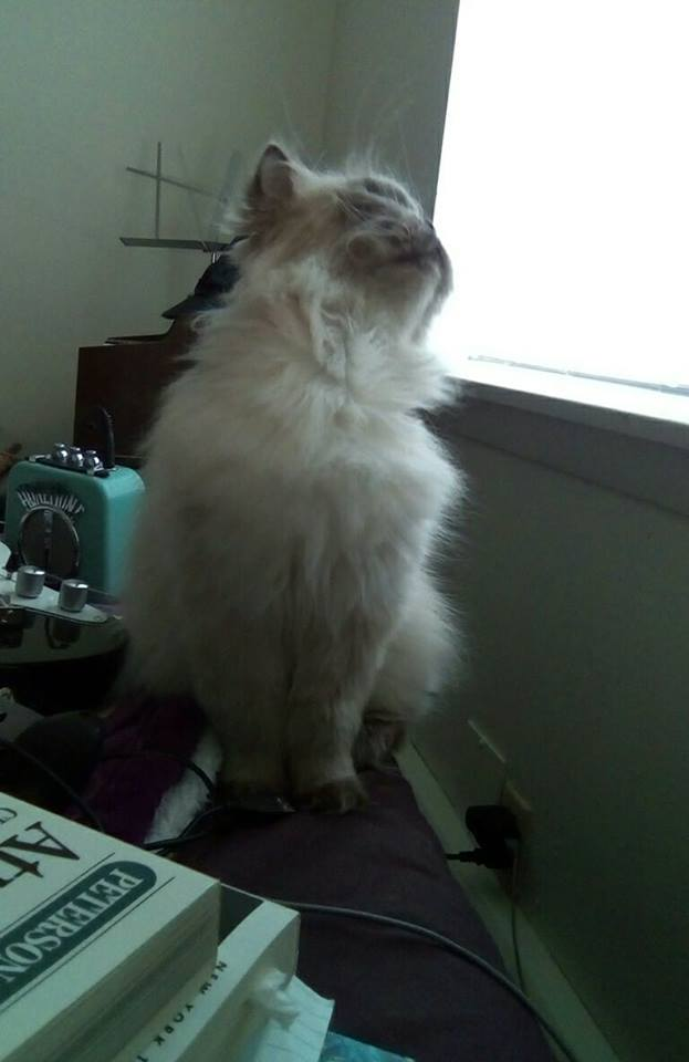 "Picture of a lilac-point persian cat named Sgt. Quark Amaya McFluffers. He has fluffy, long white fur that turns to gray at his paws and ears and face. His head is turned upward in a traditional ""I'm so beautiful"" pose."