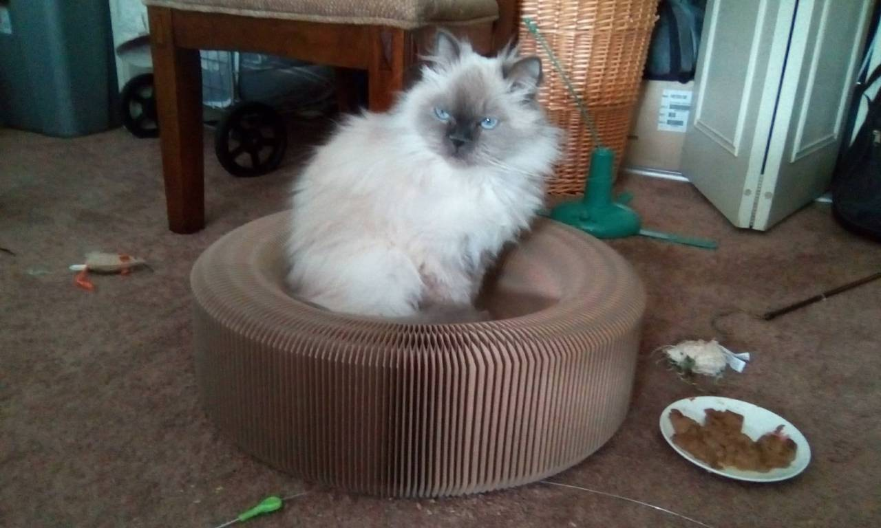 icture of a lilac-point persian cat named Sgt. Quark Amaya McFluffers. He has fluffy, long white fur that turns to gray at his paws and ears and face. He sits in a circular cardboard bed that is also a scratching post, and is looking off to the side. He has grey-blue eyes.