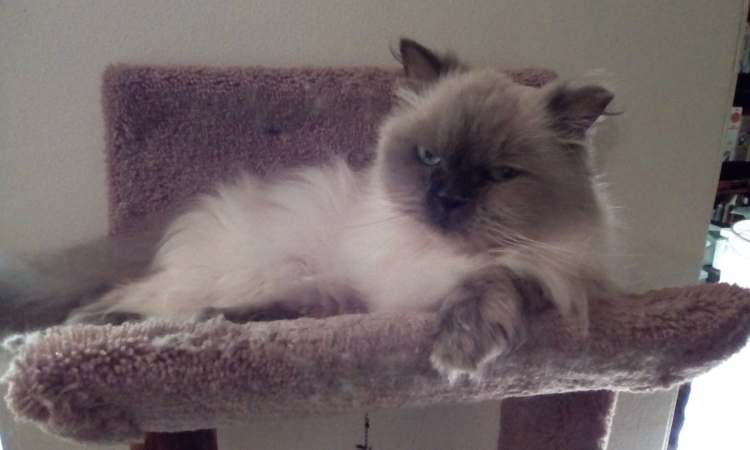 icture of a lilac-point persian cat named Sgt. Quark Amaya McFluffers. He has fluffy, long white fur that turns to gray at his paws and ears and face. He lays at the top of a cat tree that is padded with a carpet like texture, and is looking at the camera with a grumpy look.